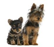 Terriers van Yorkshire het zitten Royalty-vrije Stock Foto's
