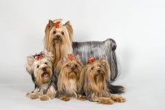 Terriers van Yorkshire op witte achtergrond Royalty-vrije Stock Foto