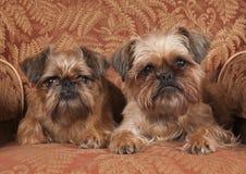 terriers yorkshire Стоковое Изображение