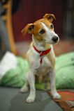 Terriersitzen Pastorjack-Russell Lizenzfreie Stockbilder