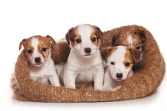 Terrierwelpe Jack-Russell Stockbilder