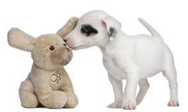 Terrierwelpe Jack-Russell, 7 Wochen alt Lizenzfreie Stockbilder