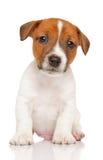 Terrierwelpe Jack-Russell Stockfoto