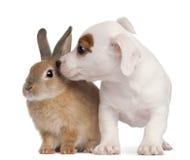 Terrierwelpe Jack-Russell und ein Kaninchen lizenzfreies stockbild