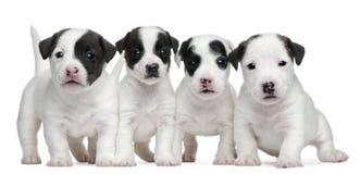 Terrierwelpen Jack-Russell, 5 Wochen alt lizenzfreies stockfoto