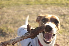 Terrific Jack Russel. This Jack Russel dog is hunting this woodstick with an angry face during a dog training session. He is showing us a bright aggressive smile stock photos