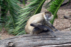 Terrified Spider monkey Royalty Free Stock Photography