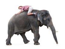Terrified tourist lying on a walking elephant. Isolated on white background stock photo