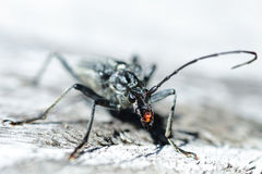 Terrifying black beetle. With long antennae and claws that look like a science fiction figure Royalty Free Stock Photography