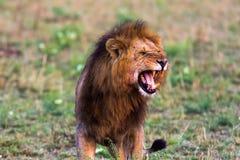 Terrifying roar of a african lion. Masai Mara. Kenya Royalty Free Stock Images