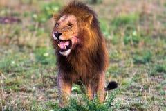 Terrifying roar of a lion. Masai Mara. Kenya Royalty Free Stock Image