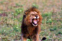 Terrifying roar of a lion. Masai Mara, Kenya. Africa Stock Photos