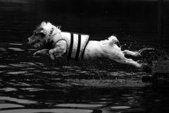 Terrior de russell del gato del salto del muelle Imagen de archivo