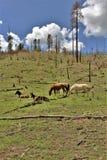 Territoire de cheval sauvage de Heber, réserves forestières d'Apache Sitgreaves, Arizona, Etats-Unis photo libre de droits