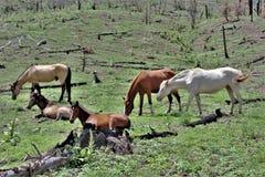 Territoire de cheval sauvage de Heber, réserves forestières d'Apache Sitgreaves, Arizona, Etats-Unis images libres de droits