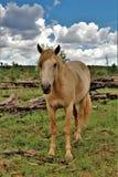 Territoire de cheval sauvage de Heber, réserves forestières d'Apache Sitgreaves, Arizona, Etats-Unis image stock