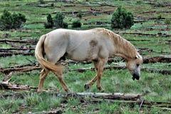 Territoire de cheval sauvage de Heber, réserves forestières d'Apache Sitgreaves, Arizona, Etats-Unis photographie stock