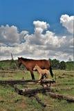Territoire de cheval sauvage de Heber, réserves forestières d'Apache Sitgreaves, Arizona, Etats-Unis photo stock