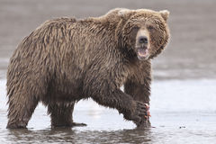 Coastal Brown Bear. A coastal brown bear at Lake Clarke National Park, Alaska Stock Image