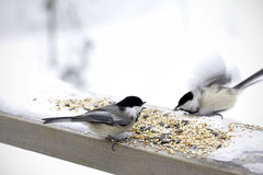 Territorial Chickadees Royalty Free Stock Photography