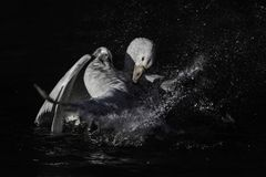 Territorial dispute between two male gooses during mating season. Wildlife photography.Two male white gooses fighting for territory splashing water around during royalty free stock images