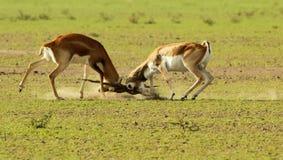 A territorial fight between blackbucks Royalty Free Stock Photos