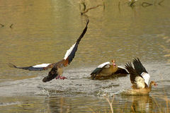 Territorial fight. Egyptian Goose territorial fight on natural waterpan in South Africa Royalty Free Stock Images