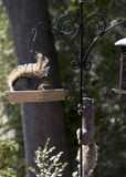 Territorial Grey Squirrels Facing Off At Feeder Royalty Free Stock Photo
