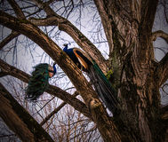 Territorial peacocks. Royalty Free Stock Images
