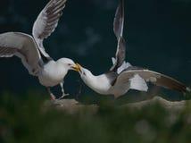 Territorial Seagulls at La Jolla, California Royalty Free Stock Photography