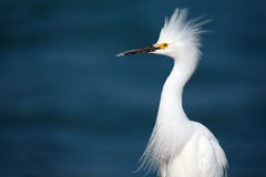 Territorial Snowy Egret Royalty Free Stock Photography