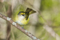 Territorial white eyed vireo Stock Images