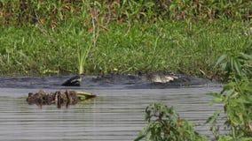 Territoriell kamp för alligatorer under att para ihop säsong lager videofilmer