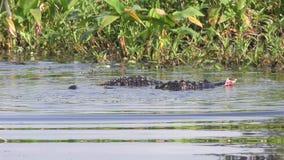 Territoriell kamp för alligatorer under att para ihop säsong stock video