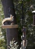 Territoriella Grey Squirrels Facing Off på förlagemataren royaltyfri foto