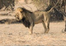 Terrority della marcatura del leone Fotografie Stock