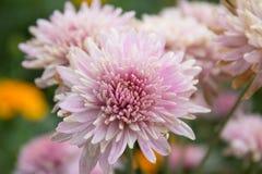 Terry-Chrysanthemenblumen Lizenzfreies Stockbild
