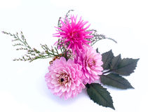 Terry dahlia are on a white background. Pink terry dahlia are on a white background Royalty Free Stock Photos