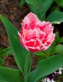 Terry dentella il tulipano che cresce nel giardino su fondo verde Immagine Stock Libera da Diritti