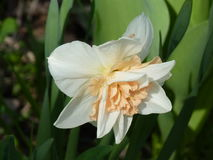 Terry double Narcissus. Terry Narcissus, the flower of spring stock photo