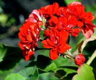 Terry flourished the red geranium. In the garden royalty free stock photos