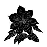 Terry flower clematis sketch. Royalty Free Stock Image