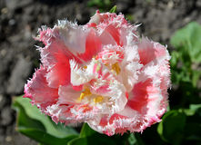 Terry fringed pink tulip. Stock Images