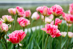 Terry fringed pink tulips on blured background Royalty Free Stock Photos