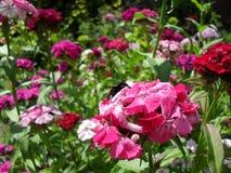Terry-Gartennelkenblumen-Sommerfrühling stockbild
