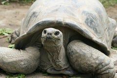 Terry la tortuga Fotografía de archivo libre de regalías