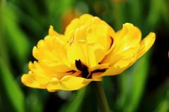 Terry yellow tulip royalty free stock images