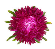 Terry maroon aster Stock Photography