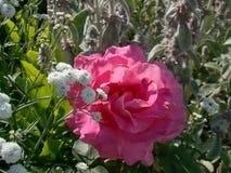 Terry menchii róża Zdjęcie Stock