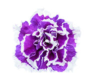 Terry petunia flower isolated on white Royalty Free Stock Image